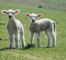 Lambs by Catherine Ames