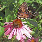 Swallowtail by Jack Ryan