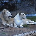 Lion and Lioness looking left.(animal life) by ANDREW BARKE