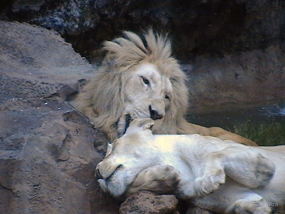 Lion grooming  Lioness (animal life) by ANDREW BARKE
