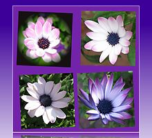 Beautiful Dreamers -  Cape Daisy Collage by BlueMoonRose