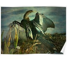 Anhinga spreading his wings, Everglades Florida Poster