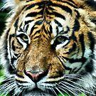 Tiger, Tiger by Sandra Cockayne