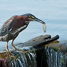 Little Green Heron goes fishing by Bonnie T.  Barry