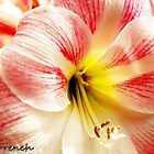 Pretty In Pink-Amaryllis by jerryfrencho