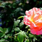 Pink and Yellow Rose by jerryfrencho