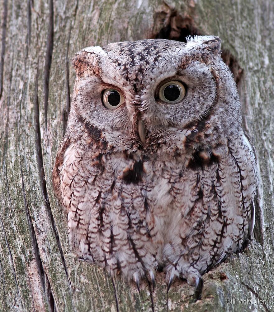 Eastern Screech Owl by Bill McMullen