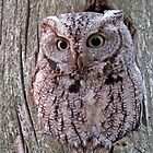 Eastern Screech Owl by Bill McMullen