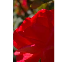 red rose in profile... Photographic Print
