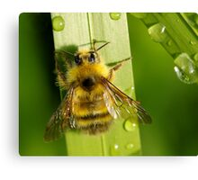 Bombus Mixtus: A Fuzzy Yellow Insect-Bear Canvas Print