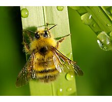 Bombus Mixtus: A Fuzzy Yellow Insect-Bear Photographic Print