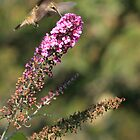 Hummer and Butterfly Bush by Debbie  Roberts