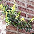 Yellow Wall Climber (photo) by James Zickmantel