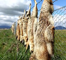 Dead foxes on barbed wire by Margiraffe