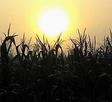 Sunrise over cornfield.....Up in the sky by jammingene