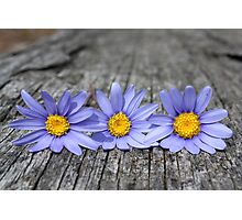 Three little daisies Photographic Print