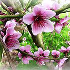 Nectarine Blossom with leaves forming by EdsMum
