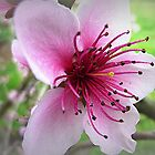 The Beauty of One Flower (Nectarine Blossom) by EdsMum