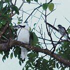 Kookaburra, kookaburra In my tree... HA HA HA HA HA HA HA  by LESLEY B
