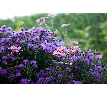 Asters and Japanese Anemones Photographic Print