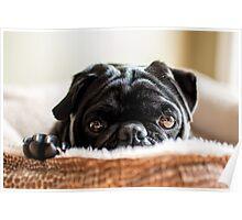 Cozy Pug Poster