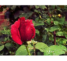 Dew Drops on Red Rose Petals Photographic Print