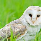 European Barn Owl by Daniel  Parent