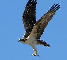 Osprey II ~ Marana, AZ by Kimberly Chadwick