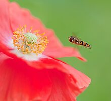 Poppy Feast by Sarah-fiona Helme