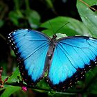 Blue Morpho Butterfly by Nugent Visuality