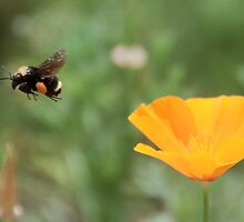 Flight of The Bumble Bee by don thomas
