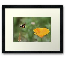 Flight of The Bumble Bee Framed Print