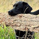 My labrador is always barking by Alan Mattison IPA