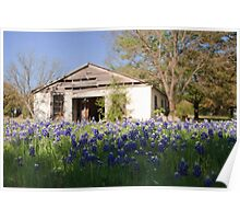 Bluebonnets and barn Poster