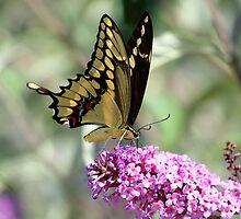 Giant Yellow Swallowtail On Purple Butterfly Bush by DARRIN ALDRIDGE