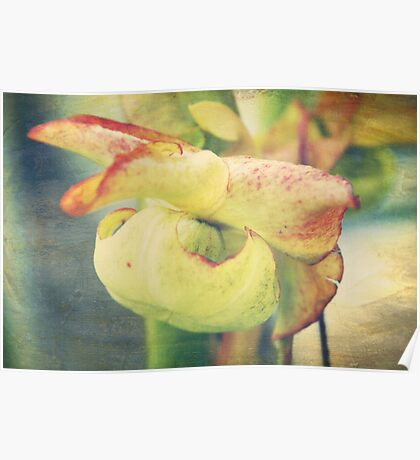 Pitcher Plant Bloom Poster