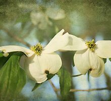 Dogwood Blooms by Jonicool