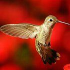 Hummingbird Landing 1 by jerryfrencho