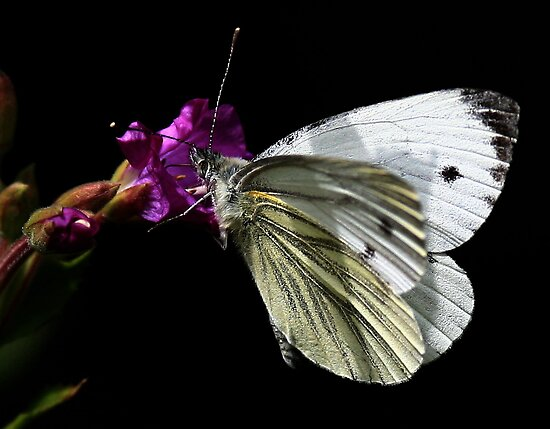 Green Veined White by snapdecisions