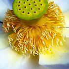 Lotus Flower by Vince Gaeta
