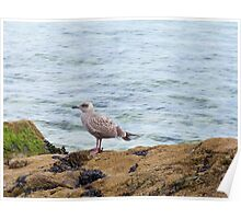 Young Gull St Ives Poster