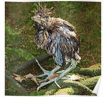 Baby Black Crowned Night Heron Poster