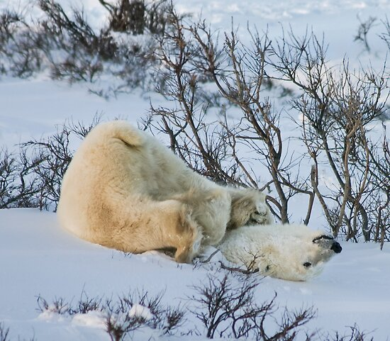 Yoga Bear stuck by Owed to Nature