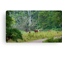 Cows in a rainforest pasture Canvas Print