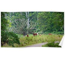 Cows in a rainforest pasture Poster