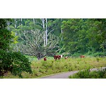 Cows in a rainforest pasture Photographic Print