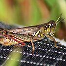 Grasshopper by Cathy O. Lewis