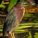 Green Heron by Bill McMullen