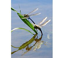Dragonfly Love ~ Common Green Darner Photographic Print