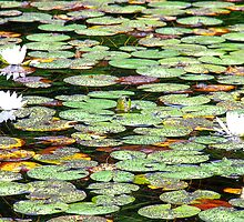 Lily Pad Garden by Mark Sellers